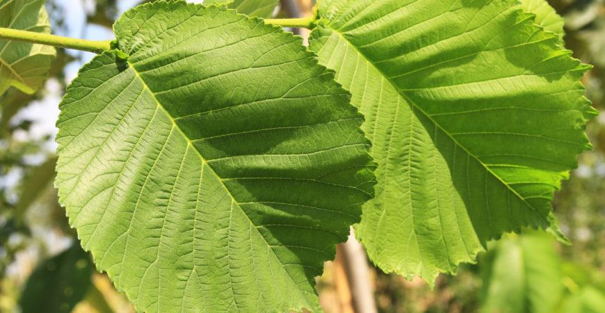 Drzewa i krzewy liściaste z gołym korzeniem